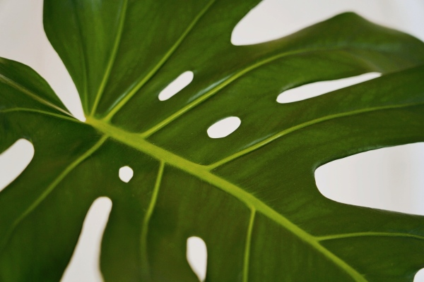 Minimalist monstera leaf